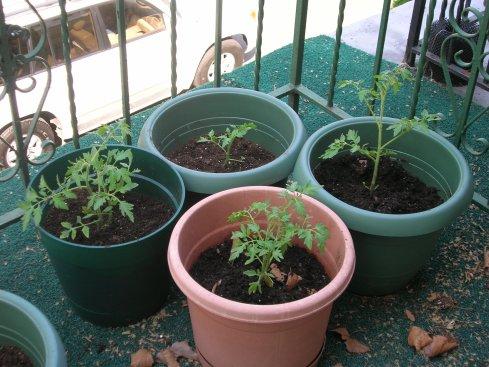 2009 Ramapo tomato plants