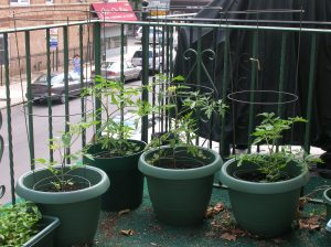 my tomato plants in late June