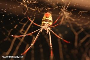 Madagascar golden orb spider (Nephila madagascariensis)